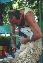 Tonte de mouton